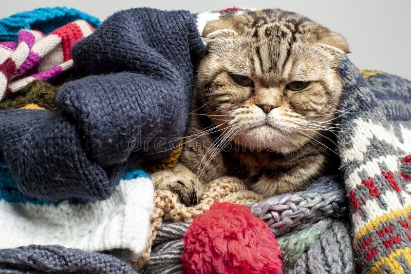 Bardzo zły i sfrustrowany kot Scottish Fold przygotowuje się na zimną jesień i zimę, pakuje się i ukrywa w stercie wełny, fotografia stock