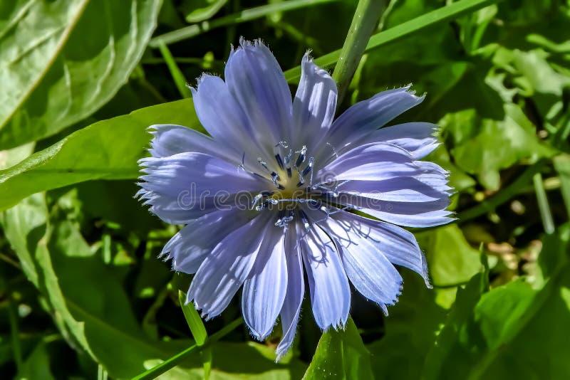 Bardzo Zamyka strzał Malutki Mlecznoniebieski kwiat w Ontario, Kanada obrazy royalty free