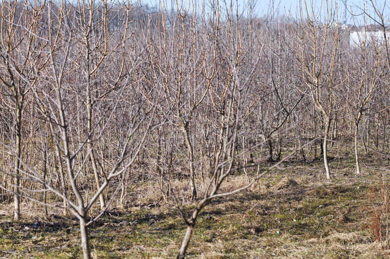 Bare apple trees in fruit orchard in spring stock photo