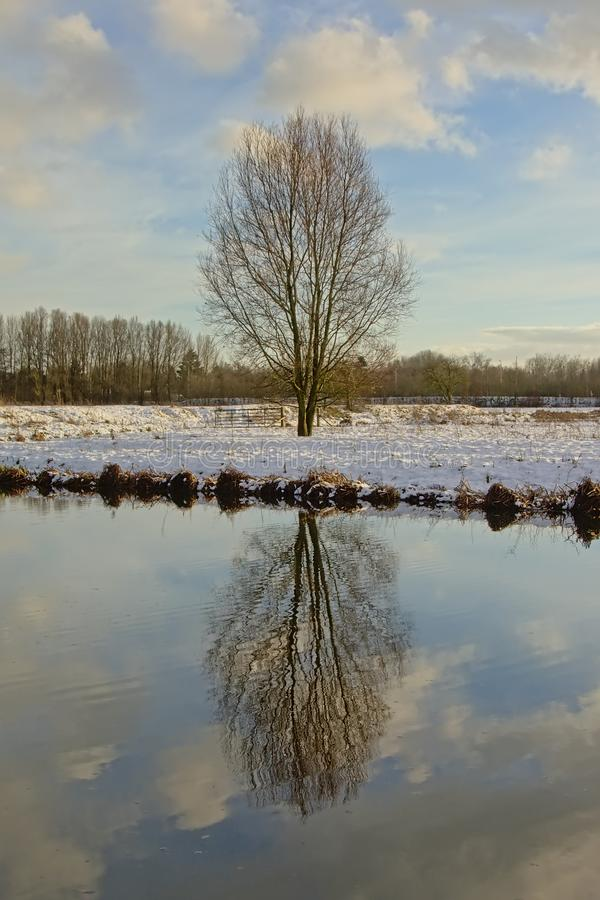 Bare ash tree reflecting in the water in a winter marsh landscape wih snow stock photos