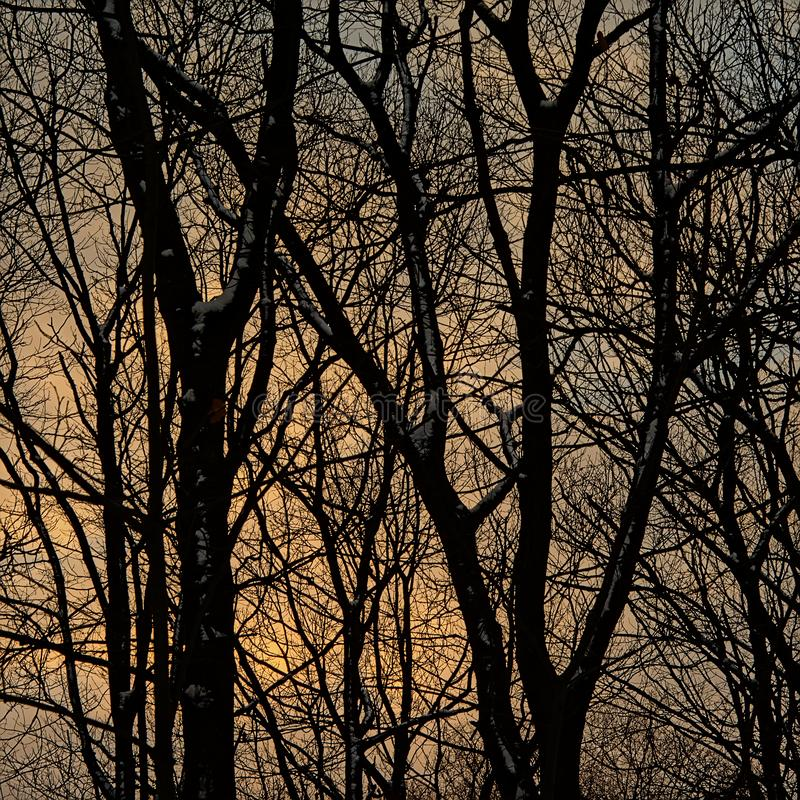 Bare ash tree silhouette detail with snow against a soft yellow winter evening sky stock image
