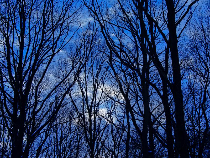 Bare ash tree silhouette detail with snow against a cold blue winter evening sky stock photography