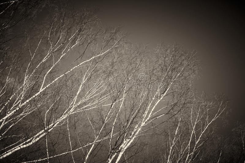 Bare birch tree branches