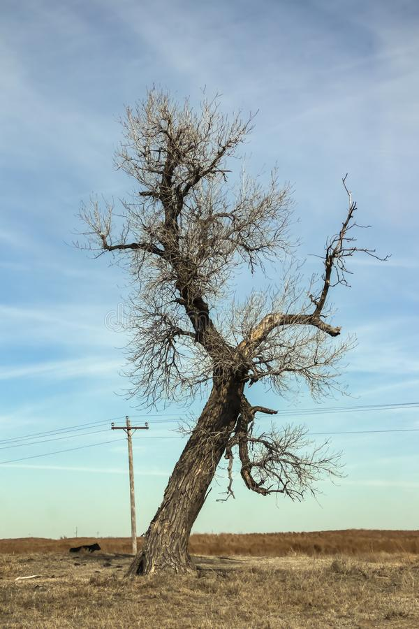Bare branched winter tree in the middle of a brown field with a wooden electric line and a cow laying in the grass under a blue royalty free stock photo