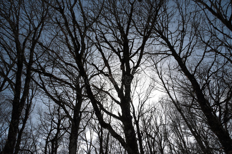 Bare branches. Silhouette of bare branches of a beech forest royalty free stock photo