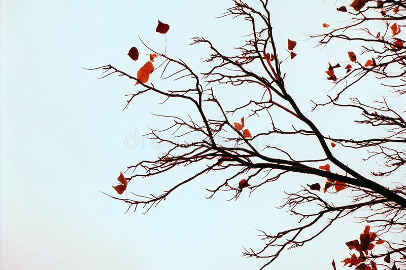 Bare Branches royalty free stock photo