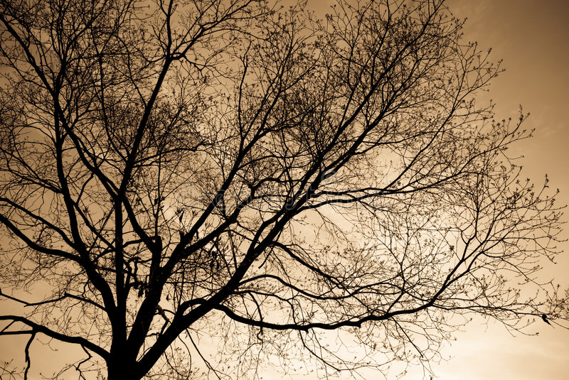 Bare Branches. Stark bare branches of a tree soon to bloom. In sepia tones royalty free stock image