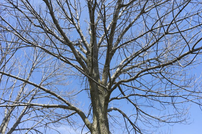 Bare branches of a dark tree. Against a blue sky in winter royalty free stock photos