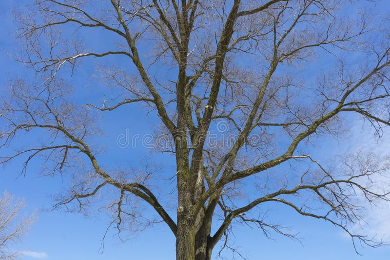Bare branches of a dark tree. Against a blue sky in winter stock images