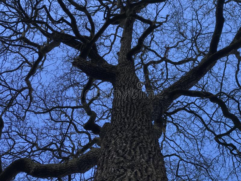 Bare branches of old tree. Bare branches against the blue sky stock image