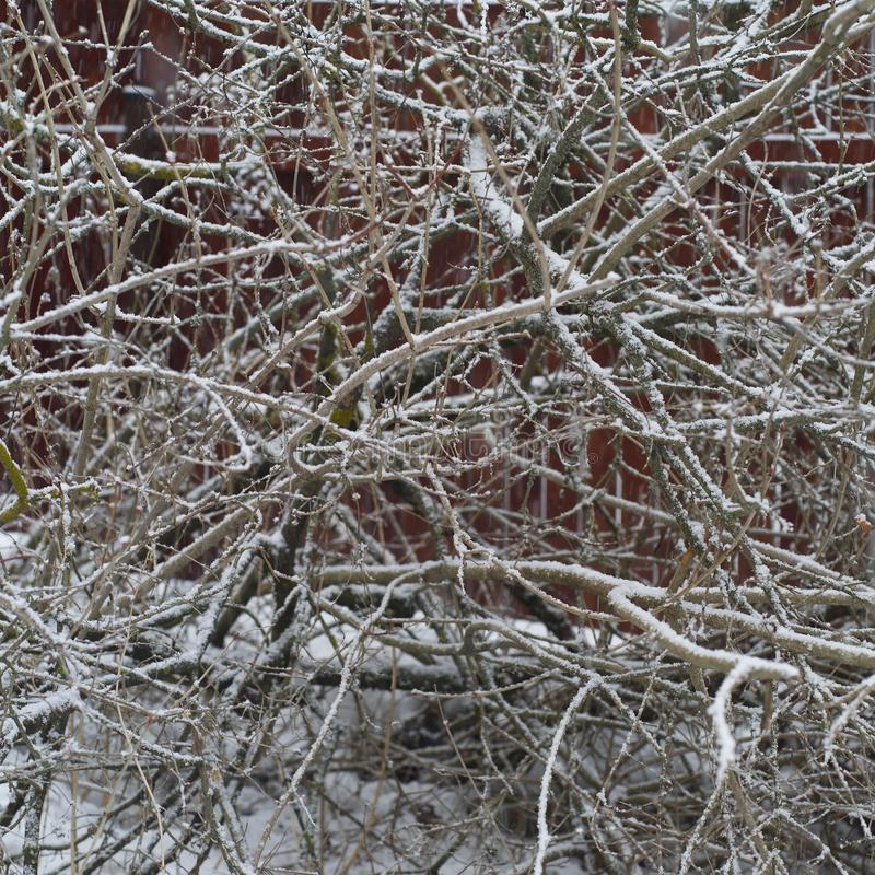 Bare branches of rowan in winter. Bare branches of rowan covered with ice and snow, outdoor square image stock images