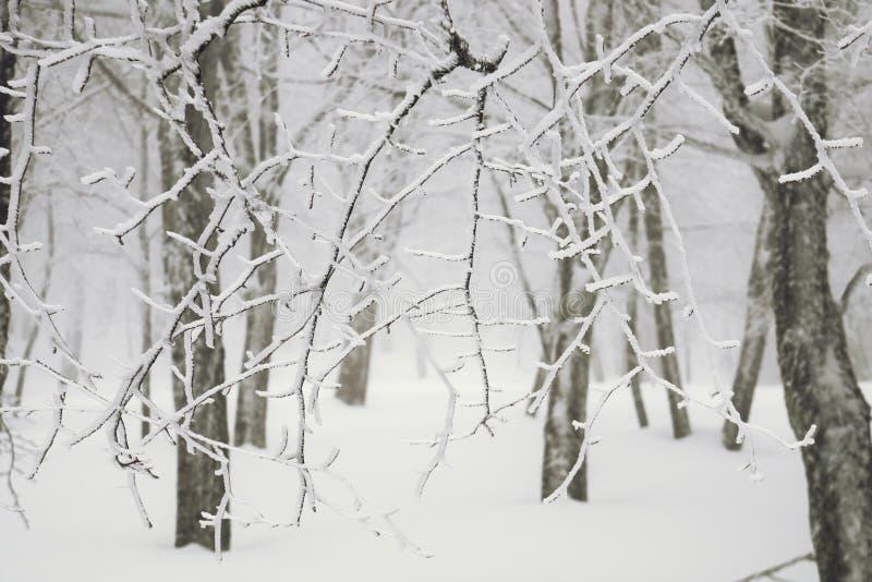 Bare Branches Snow Covered. In Nebrodi Park, Sicily stock image