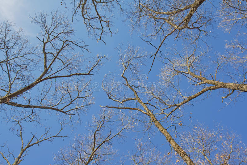 Bare branches of a tree canopy. Bare branches of a canopy of oak trees in Indiana against a bright blue sky in winter stock images