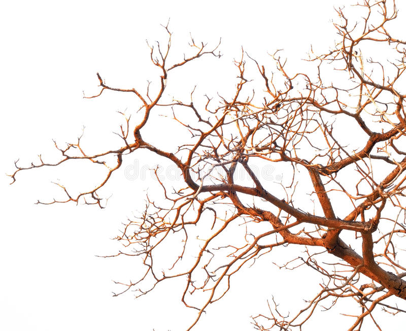 Bare branches of a tree isolated on white background royalty free stock photos