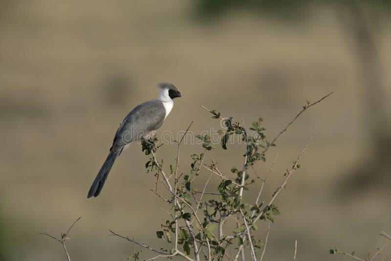 Bare faced go away bird, Corythaixoides personata. Single bird on branch, Tanzania stock photos