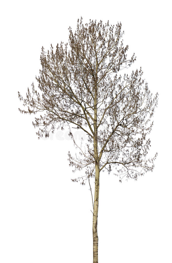Bare grey alder isolated on white. Background stock photography