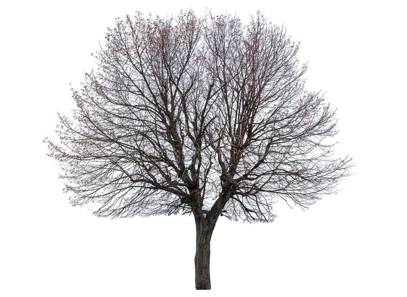 Bare linden tree royalty free stock photo