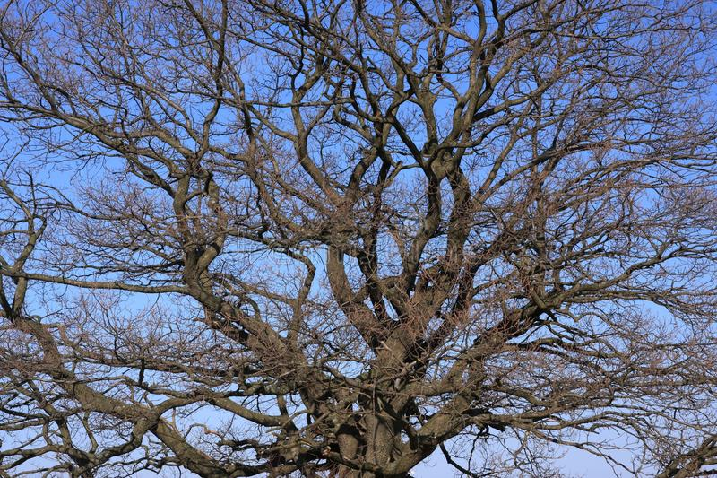 Download Bare oak stock photo. Image of confusion, chaos, branches - 21399966
