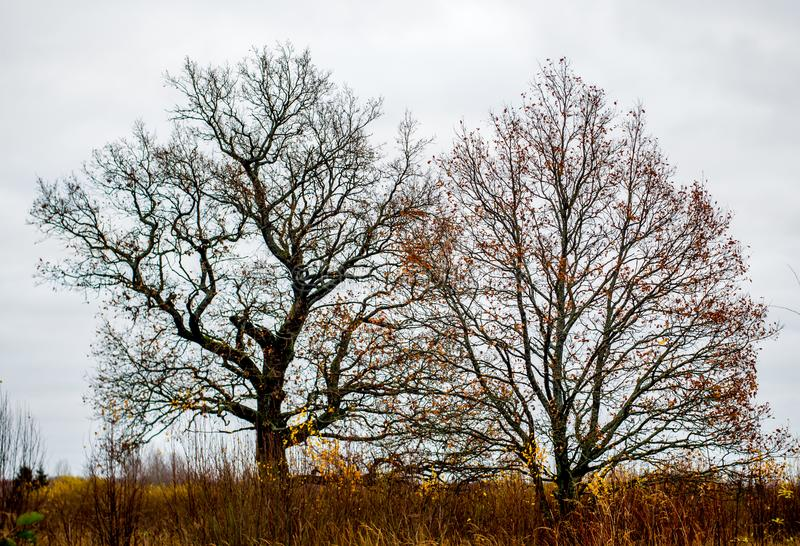 Bare old oak trees royalty free stock photography