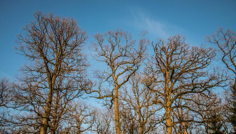 Bare old oak trees royalty free stock photos