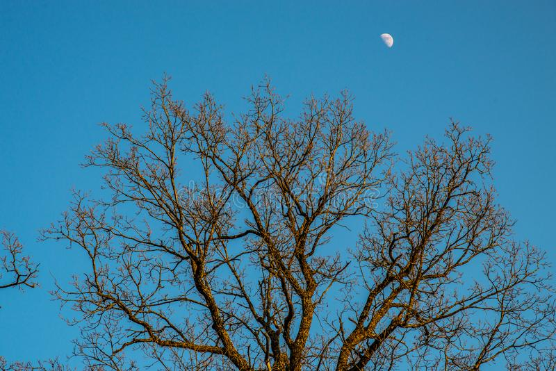 Bare old oak trees stock image