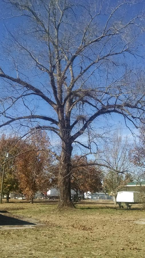 Bare Pecan tree royalty free stock image