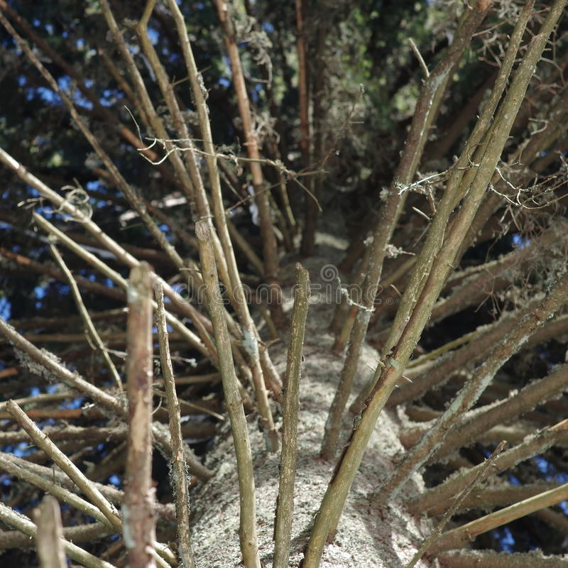 Bare pine branches. Bare branches of an old pine tree royalty free stock images