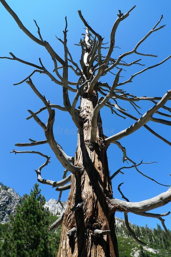 Download Bare redwood at Lake Tahoe stock photo. Image of lake - 23020036