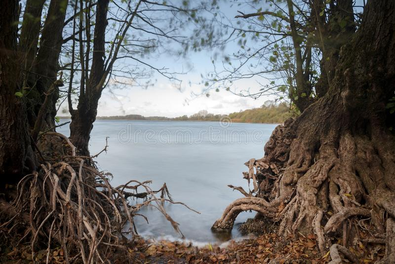 Bare roots of alder trees on the lake shore, smooth blue water by long time exposure, copy space. Bare roots of old alder trees on the lake shore, smooth blue stock photo