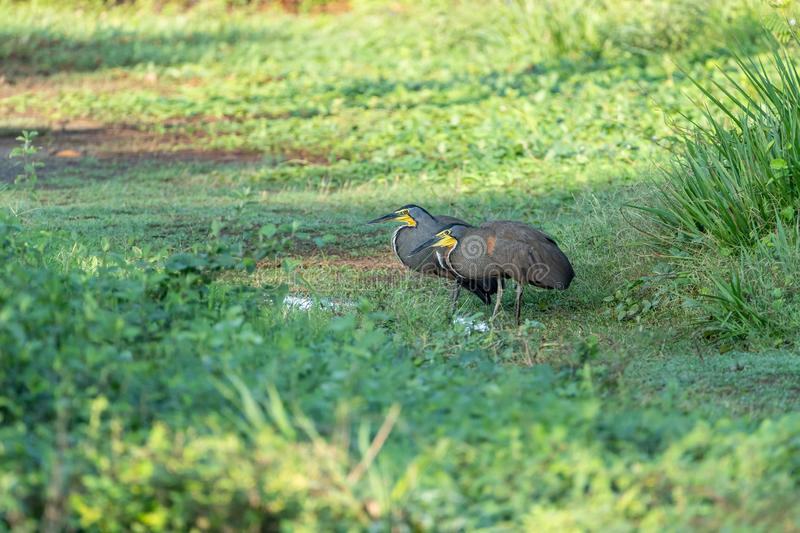 Bare-throated Tiger Heron (Tigrisoma mexicanum) in Costa Rica. Bare-throated Tiger Heron (Tigrisoma mexicanum) courting in a park in Jaco, in stock photography
