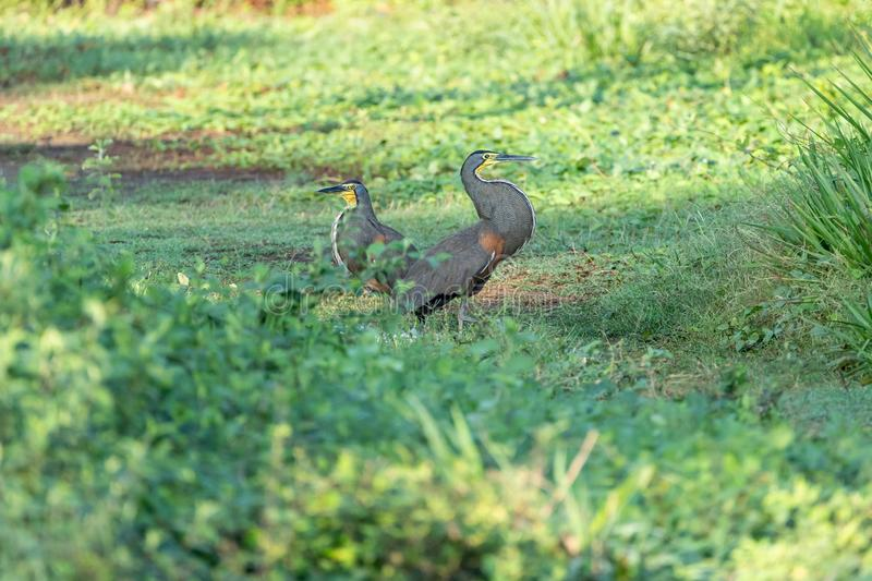 Bare-throated Tiger Heron (Tigrisoma mexicanum) in Costa Rica. Bare-throated Tiger Heron (Tigrisoma mexicanum) courting in a park in Jaco, in royalty free stock photography