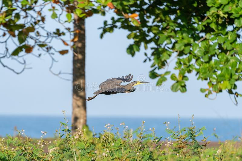 Bare-throated Tiger Heron (Tigrisoma mexicanum) in Costa Rica. Bare-throated Tiger Heron (Tigrisoma mexicanum) in flight in Costa Rica royalty free stock photography