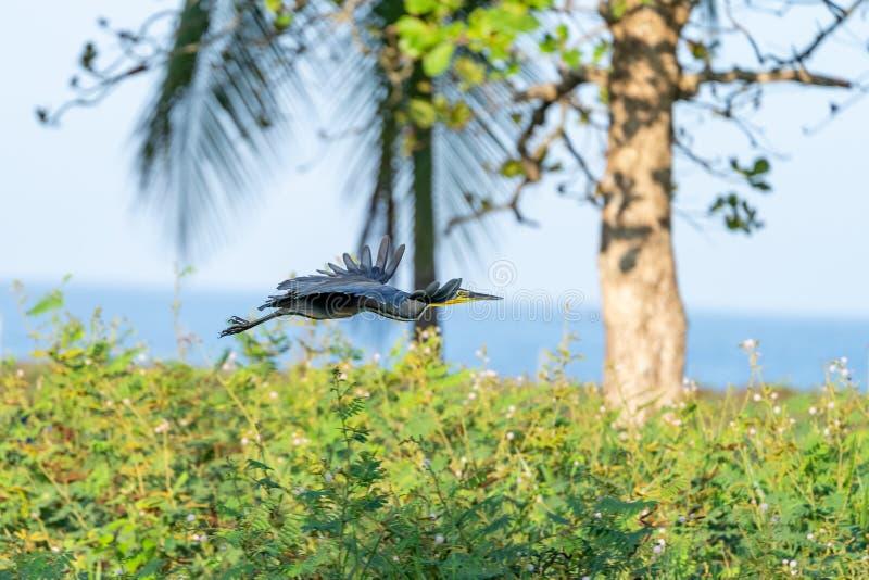 Bare-throated Tiger Heron (Tigrisoma mexicanum) in Costa Rica. Bare-throated Tiger Heron (Tigrisoma mexicanum) in flight in Costa Rica stock photos