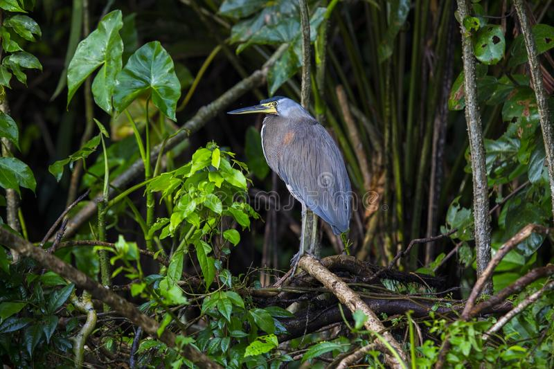 Bare-throated Tiger-Heron Tigrisoma mexicanum royalty free stock photography