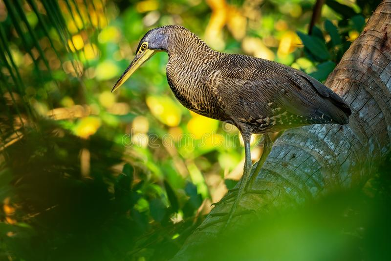 Bare-throated Tiger-heron - Tigrisoma mexicanum is a wading bird of the heron family, Ardeidae royalty free stock image