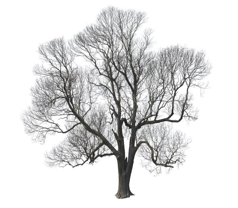 Bare tree. Isolated on white background stock photo