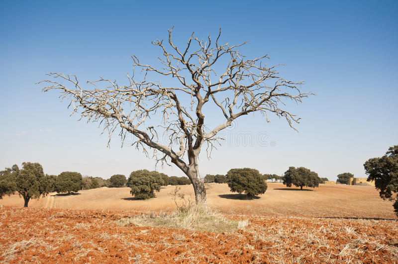 Download Bare tree stock photo. Image of fagaceae, winter, landscape - 25616802