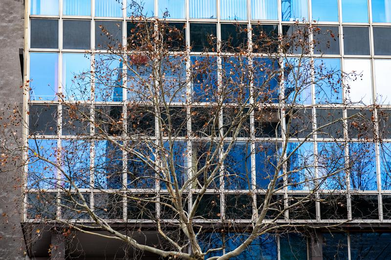 Bare tree branches with dry brown leaves on glazing wall background of building facade with abstract reflection in windows. Tree branches with dried leaves on royalty free stock photo