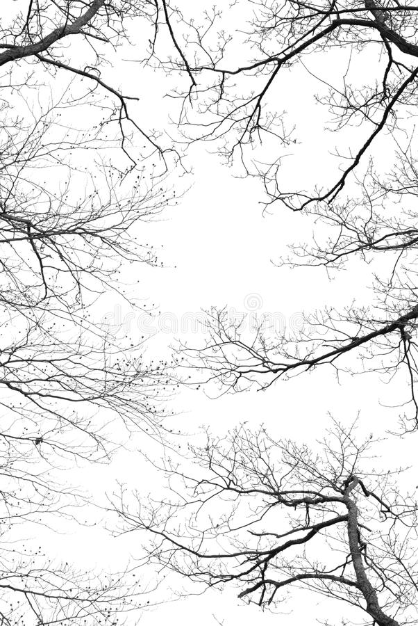 Bare tree branches on a white background. Bare tree branches on a pale white background royalty free stock photo