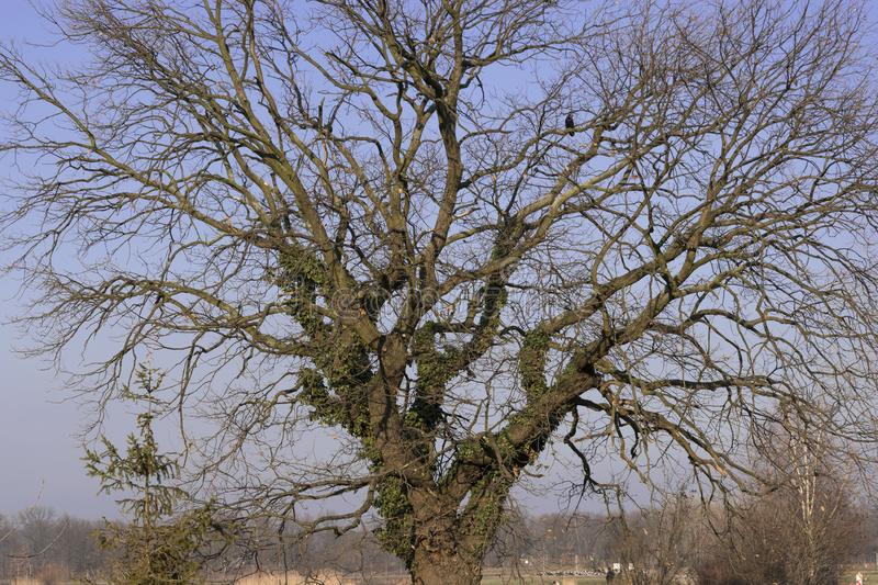 Bare tree with ivy in winter afternoon. Large lone spreading tree with no leaves on branches.  on clear sky background stock photography