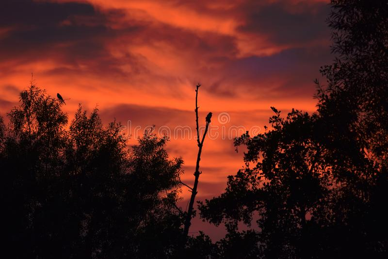 Bare Tree with Magpies in the Sunset. Wonderful bare Tree with Magpies in the Sunset stock photography