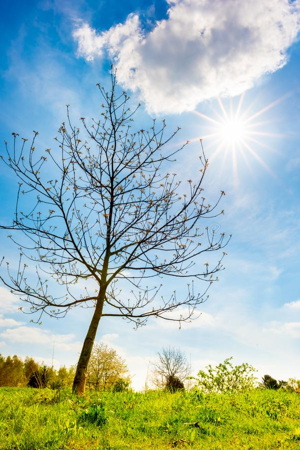 Bare tree on a meadow with brght sun in the background royalty free stock image