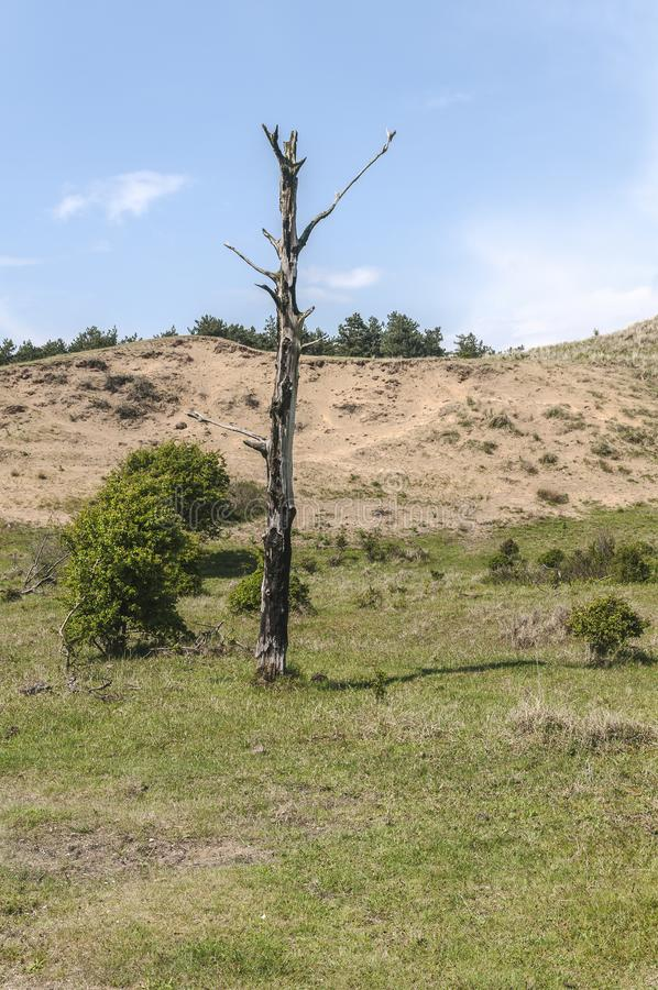 Bare tree standing in the middel of a forest without leaves. A bare tree in the middle of a hilly landscape stock photography