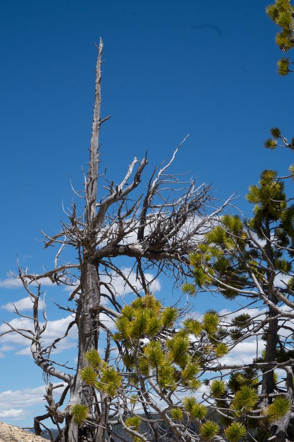 Download Bare Tree stock image. Image of atop, yellowstone, rock - 112298159