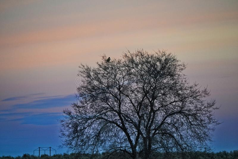 Bare Tree during Sunset royalty free stock image