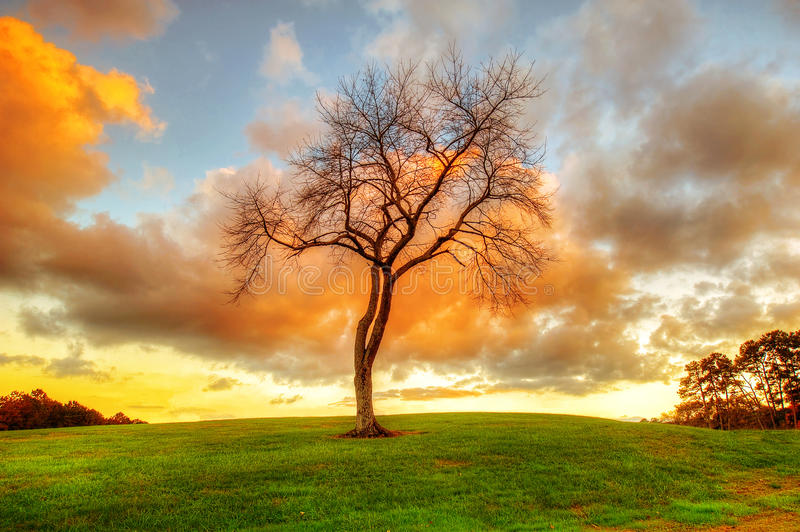 Bare Tree at Sunset. Bare tree on a hill during sunset royalty free stock image