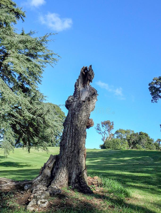 Bare tree trunk full. Bare stunted tree trunk standing on a grassy field against a blue sky stock photo