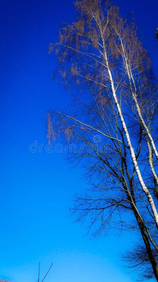 Bare tree and a blue sky. royalty free stock images