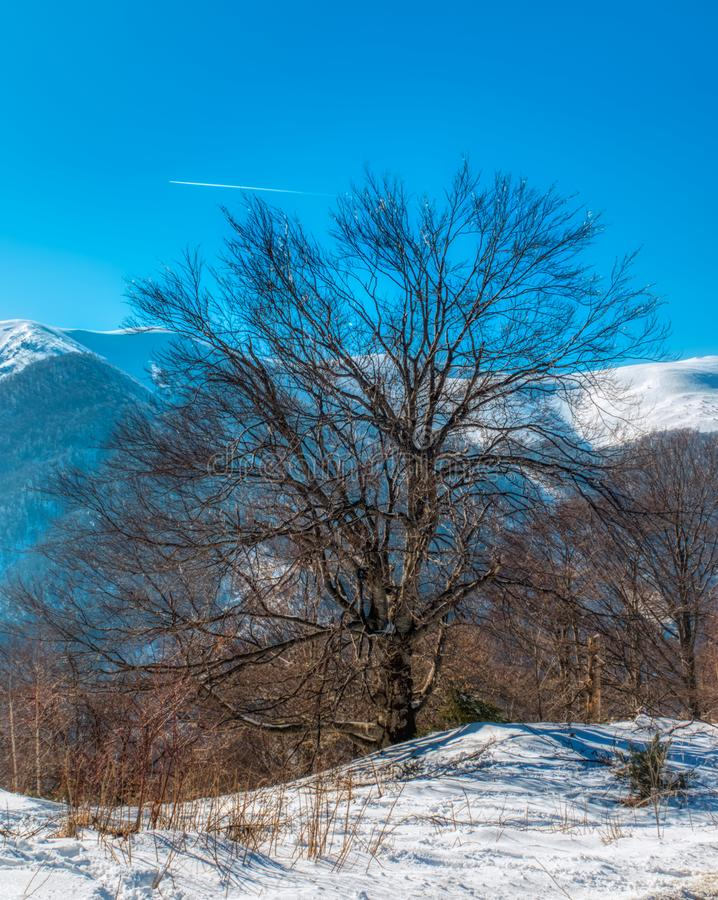 Bare tree in winter mountain. A bare tree lit by the bright winter sun in the mountain, snow and grass in the foreground, snowy mountain ridge in the background royalty free stock images