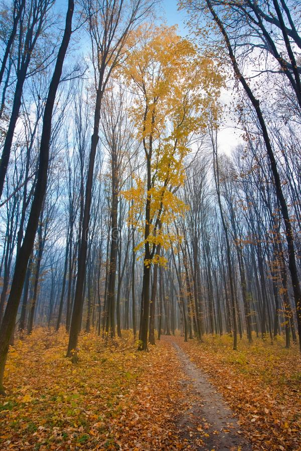 Bare trees in cold blue November sky with light white clouds, lonely maple with yellow foliage near a forest path, autumn mist stock images
